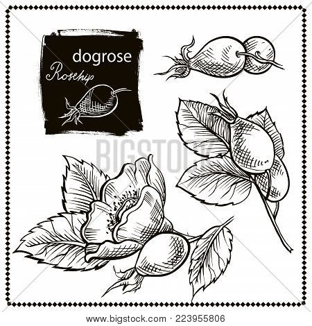 Canine Hip Dog Rose Hand Drawn Botanical Sketch Vector Illustration Black on White Background set