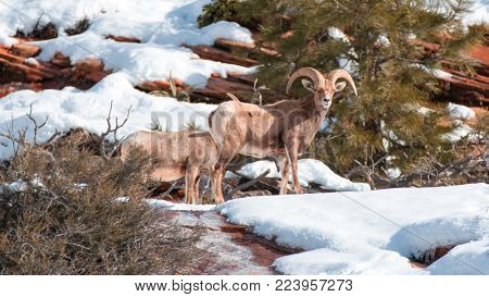 Bighorn Sheep (ovis canadensis) on sunny winter day in Zion National Park in Utah United States