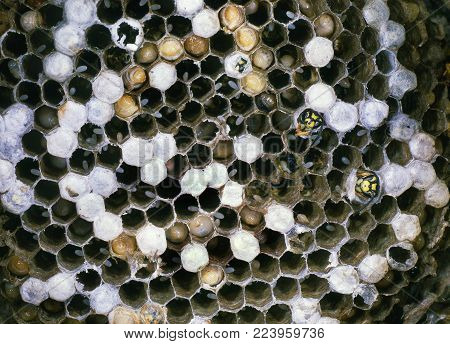 Detail of wasp nest showing hexagonal construction, eggs, larvae and adults ready to emerge.