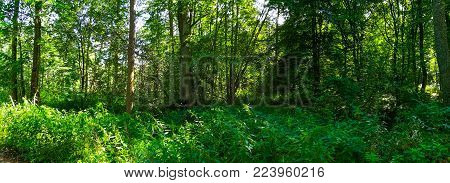 Shady Midday In Summertime Deciduous Forest, Bialowieza Forest, Poland, Europe