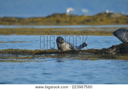Cute harbor seal pup on a bed of seaweed in Casco Bay.