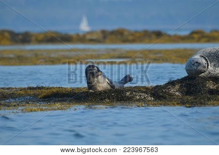 Adorable harbor seal pup on a bed of seaweed in Maine.