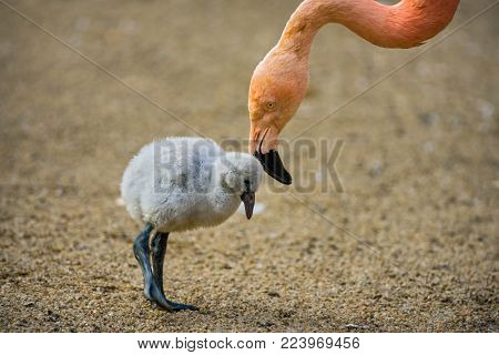 Baby bird of the American flamingo also known as Phoenicopterus ruber with its mother.