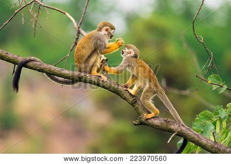 Two common squirrel monkeys also known as Saimiri sciureus playing on a tree branch