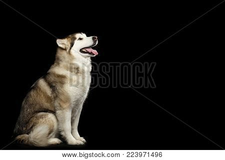 Alaskan Malamute Dog, Obedient sitting and wait, isolated on Black Background, side view