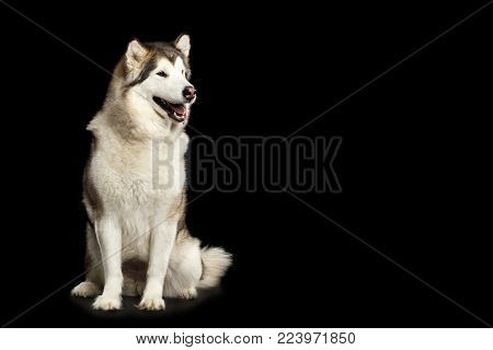 Alaskan Malamute Dog, Obedient sitting and wait, isolated on Black Background, front view