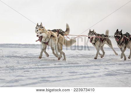 Husky of dogs in a team in winter landscape. Group of husky dogs. A group of hounds of dogs at dog races.