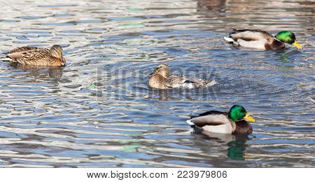 duck in the lake in nature. In the park in nature