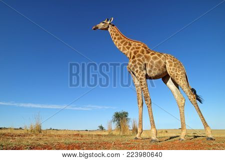 Low-angle view of a giraffe (Giraffa camelopardalis) against a blue sky, South Africa