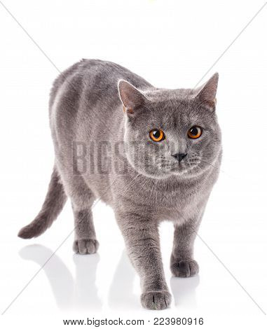 Grey House Cat With Yellow Eyes On A White Background.