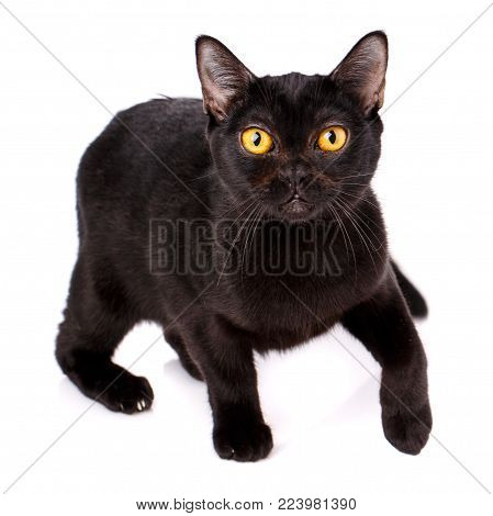 Animal, Cat, Pet Concept - Burmese Cat On A White Background