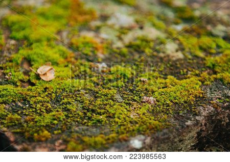 Close-up view of a moss with a backdrop.Moss texture background.Nature spring concept.