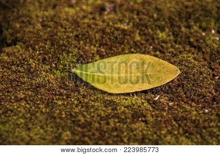 Green leaves on moss.Green leaf pattern on the moss surface. Nature spring concept.Creative tropical green leaves layout. Flat lay.Green leaf texture. Leaf texture background.