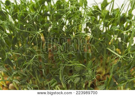 Fresh micro greens closeup. Top view on growing cress sprouts for healthy salad. Eating right, stay young and modern restaurant cuisine concept