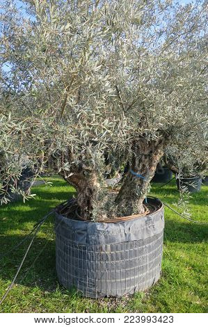secular olive tree in pot for sale
