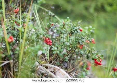 Ripe red cowberry grows in the forest. Cloudy day