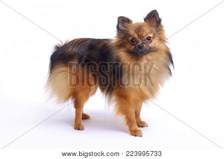 A small Pomeranian Pomeranian on a white background looks at the camera