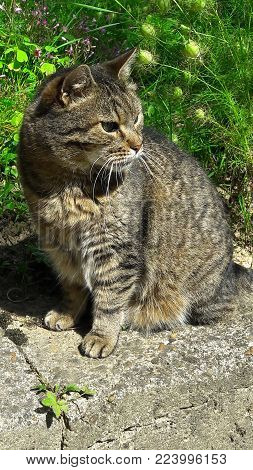 Gray tiger cat sitting on concrete with dangerous look in his eyes in front of flowers with green leaves on sunny day