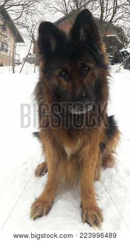 Long haired German shepherd with pointy ears sitting on snow with anxious look in his eyes, grey snout covered with few snowflakes