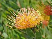 LEUCOSPERMUM CORDIFOLIUM BELONGS TO THE PROTEA FAMILY AND IS INDIGENOUS TO SOUTH AFRICA AND IS ALSO KNOWN AS THE PINCUSHION PROTEA 003 poster