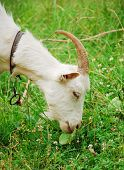 White goat eating green grass, in profile poster