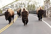 Bisons walking on road in Yellowstone park poster