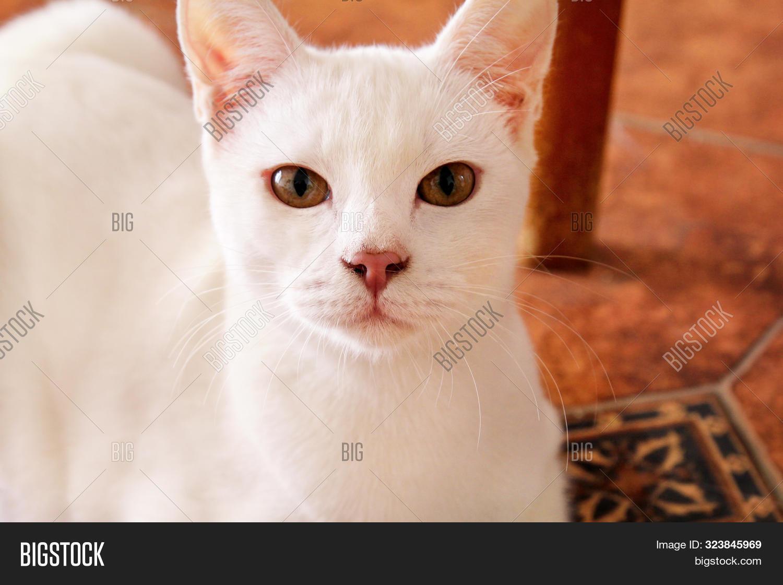 White Cat Portrait Image Photo Free Trial Bigstock