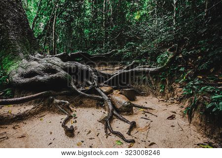 Big Tree Root ,big Root Tree In Forest,roots Covered With Moss In The Forest