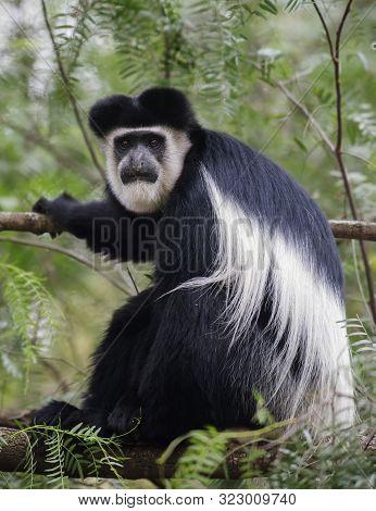 Colobus Monkey At Lake Naivasha In Africa