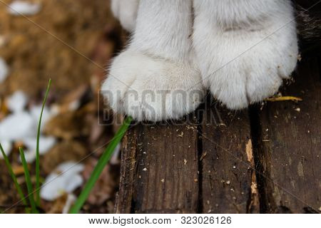 Close-up Two Feline White Paws Of A Sitting Cat On Wooden Gray Bars