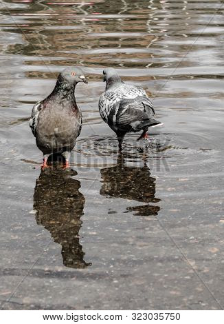 Urban Lonely Pigeons Walks Along Springy Muddy Puddle, In Which Its Reflection And The Reflection Of