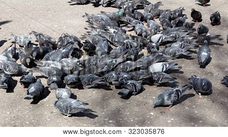 Large Flock Of City Pigeons Pecks Bread Crumbs From The Asphalt On A Bright Sunny Spring Day