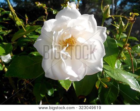 White Rose On A Background Of A Green Bush. Gentle Opened Flower.