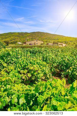 Vineyard Of Pinot Noir Variety At A Mediterranean Winery.