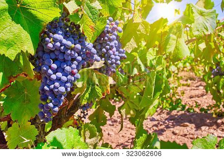 Bunches Of Pinot Noir Grapes In A Vineyard. A Red Wine Grape Variety Of The Species Vitis Vinifera.