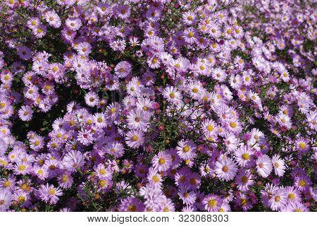 Countless Pink Flowers Of Symphyotrichum Dumosum In October