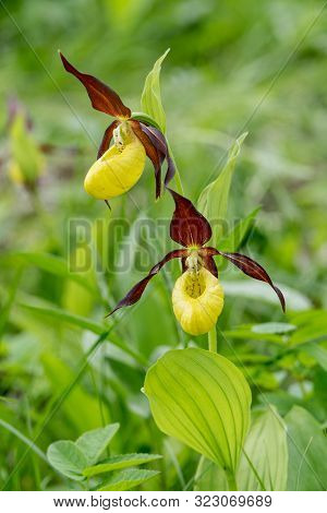 Lady Slipper Orchid Flower. Yellow With Red Petals Blooming Flower In Natural Environment. Lady Slip