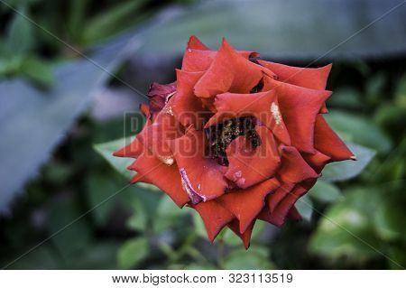 Lonely Dark Red Rose On A Background Of Greenery, Background Defocus, Blur, Bokeh
