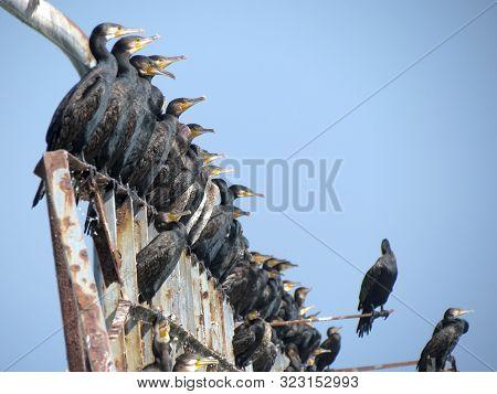 Black Cormorants Sitting On The Old Rusty Iron Pier. Birdwatching Concept. Beach Walking.