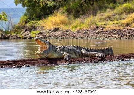 Majestic Nile Crocodile With Opened Mouth. Crocodylus Niloticus, Largest Crocodile In Africa, Chamo