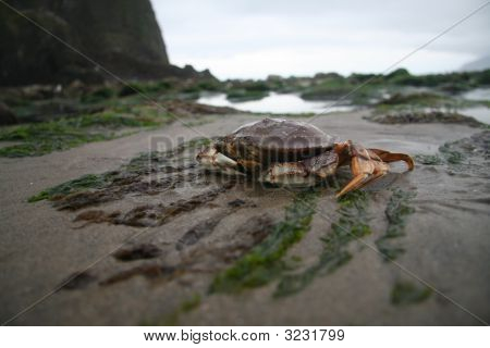 Canon Beach Crab