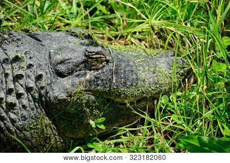 American Alligator(alligator Mississippiensis), Sometimes Referred To Colloquially As Agatororco