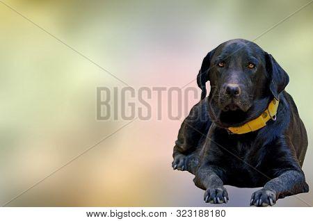 Labrador Black Dog Royalty Free Stock Photos. Labrador Images, Stock Photos & Vectors . Free Cats An