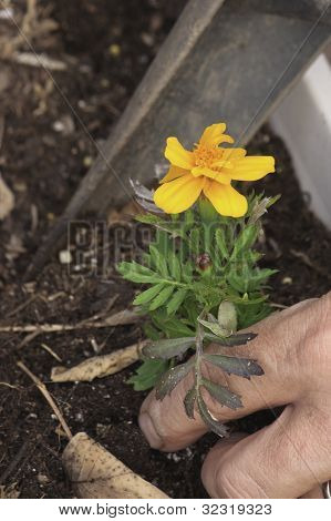 garden flower being planted