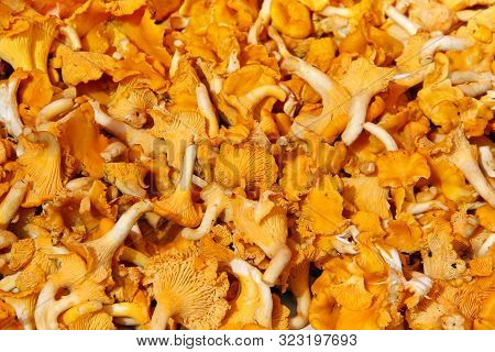 Background Of Orange Fresh Yellow Chanterelle Mushrooms