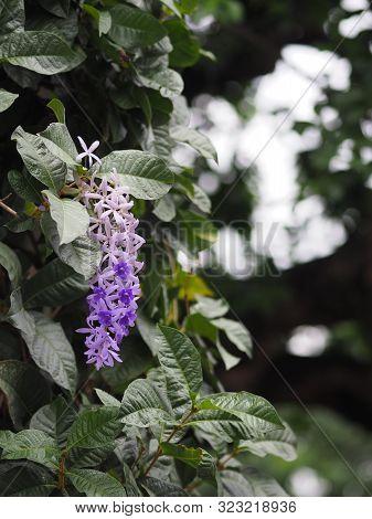 Sandpaper Vine. Purple Wreath. flower bunch purple bouquet of five petals, like a five pointed petal poster