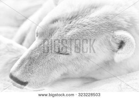 Portrait Of A Polar Bear Sleeping In The Snow. Alaska, Usa.