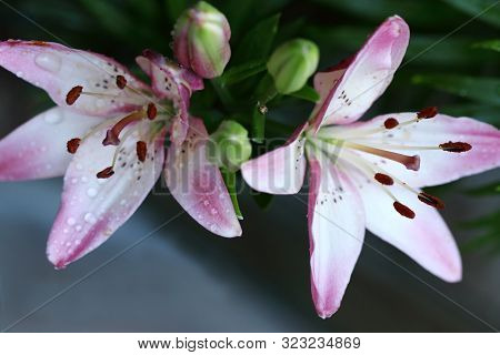 Beautiful Pink Asiatic Lily Njoyz Flower. Asiatic Lilies Are Created By Cross-pollination Of Differe