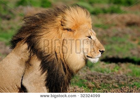 A Kalahari Lion, Panthera Leo, In The Addo Elephant National Park