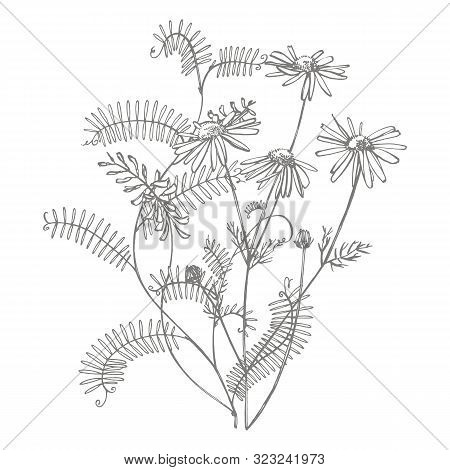 Branch Of Wild Plant Vicia Cracca. Tufted Vetch Or Vicia Cracca, Vintage Engraved Illustration. Bouq
